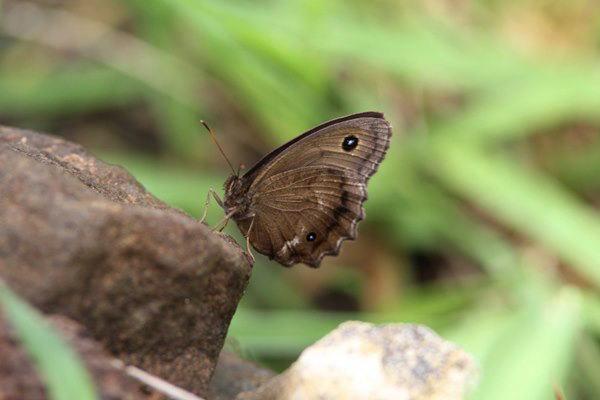 「盛夏の蝶」(7月)・・・・補遺(其の参)_b0189231_21130103.jpg