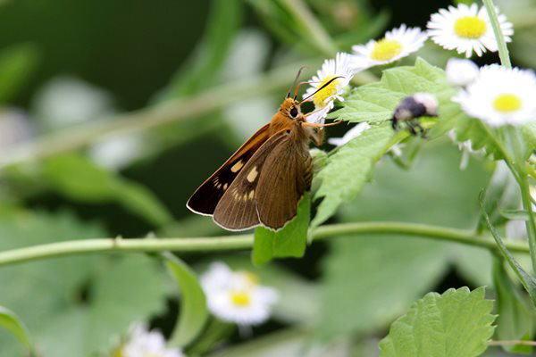 「盛夏の蝶」(7月)・・・・補遺(其の参)_b0189231_21132175.jpg