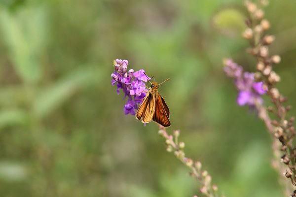 「盛夏の蝶」(7月)・・・・補遺(其の参)_b0189231_21133903.jpg