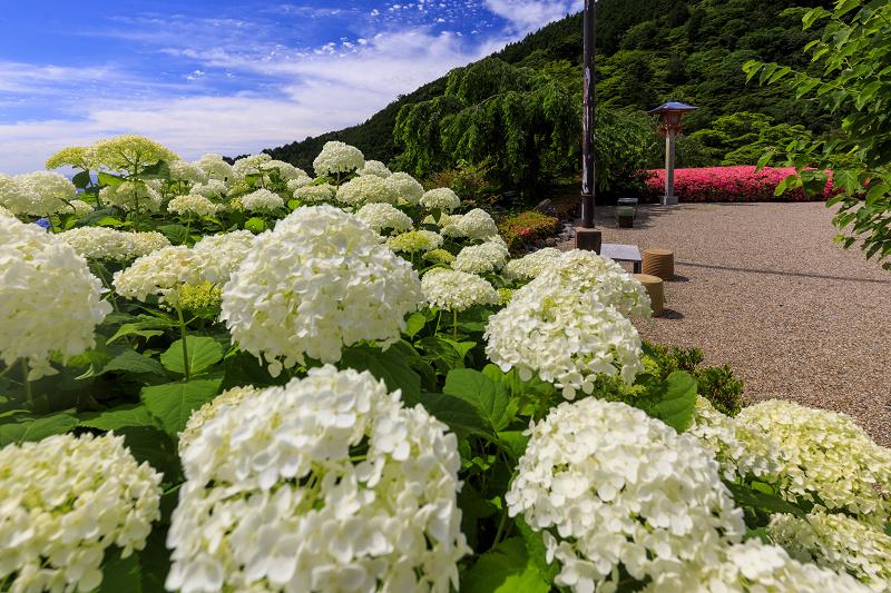 善峯寺の紫陽花とサツキ_f0155048_23212176.jpg