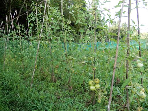 自然農の畑 8月上旬~中旬_d0366590_07344599.jpg