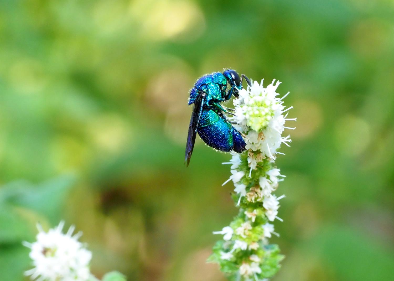 花バチ  オオセイボー       ( 12mm)位_e0254493_2343028.jpg