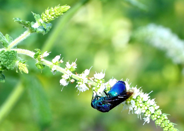花バチ  オオセイボー       ( 12mm)位_e0254493_239621.jpg
