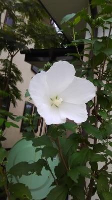 裏庭のバレリーナ_c0289116_19563931.jpg