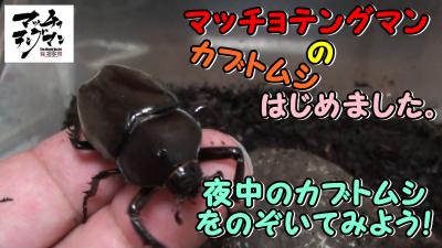 マッチョテングマンのカブトムシはじめました。 【夜中のカブトムシをのぞいてみよう!】んの巻_f0236990_04392130.png