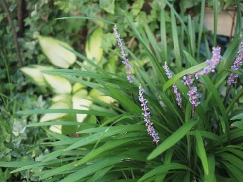 高温多湿な地域で育つ植物(半日陰編)_a0335560_13344776.jpg