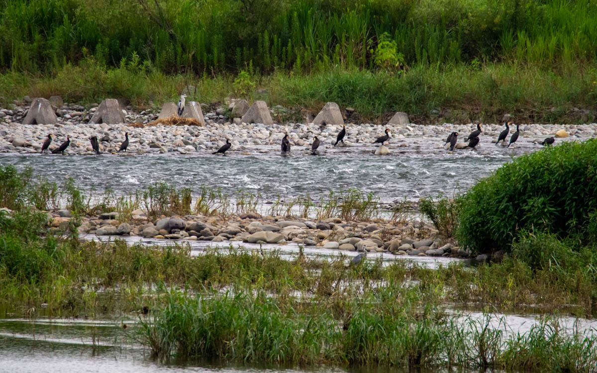 河原の風景  (カワウ&ダイサギ)  2020/08/18_d0146592_00085342.jpg