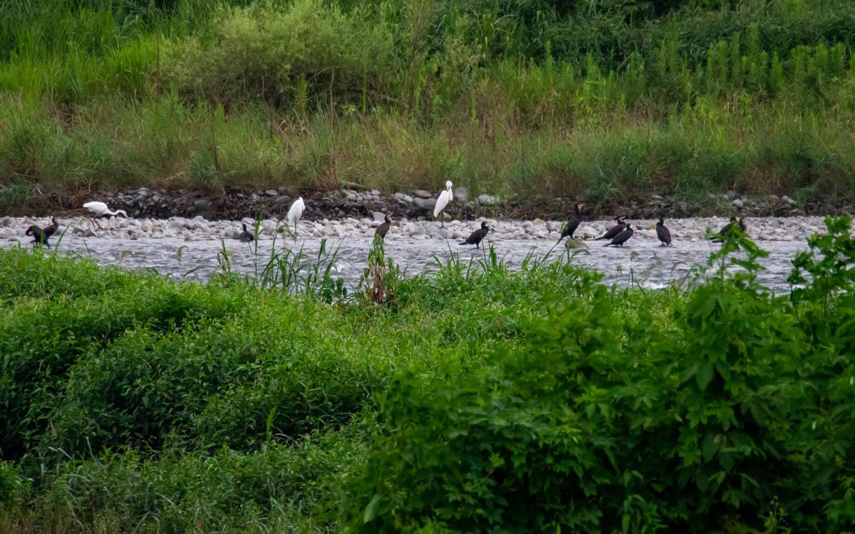 河原の風景  (カワウ&ダイサギ)  2020/08/18_d0146592_00090326.jpg