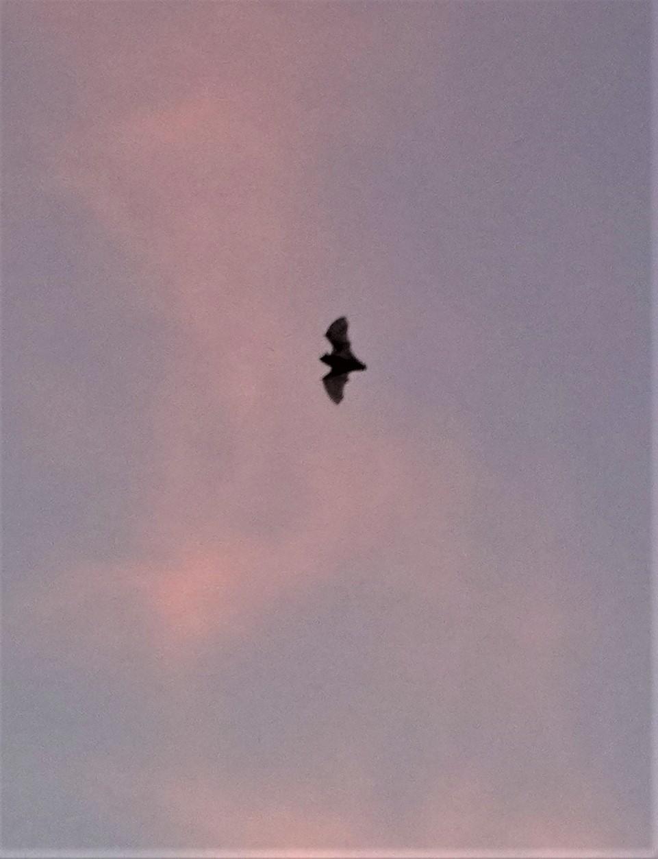夕焼け空に舞う蝙蝠_f0006713_17213469.jpg