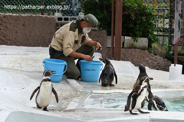 2020年7月 天王寺動物園 その2 フンボ換羽中_a0052986_7554959.jpg