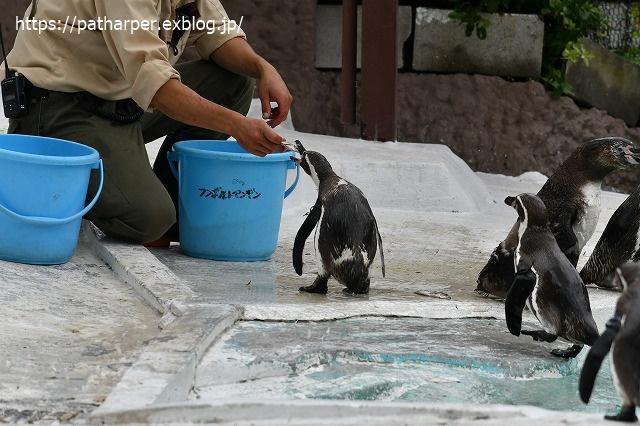 2020年7月 天王寺動物園 その2 フンボ換羽中_a0052986_7561286.jpg