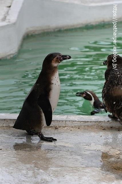 2020年7月 天王寺動物園 その2 フンボ換羽中_a0052986_7593747.jpg