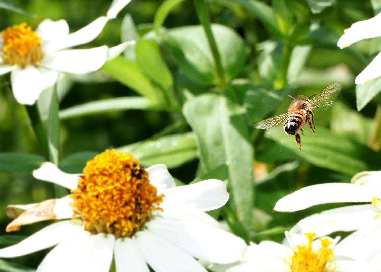 ミツバチ_e0254493_16113310.jpg