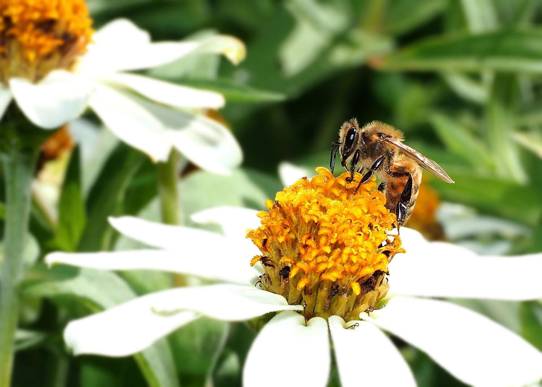 ミツバチ_e0254493_16114980.jpg