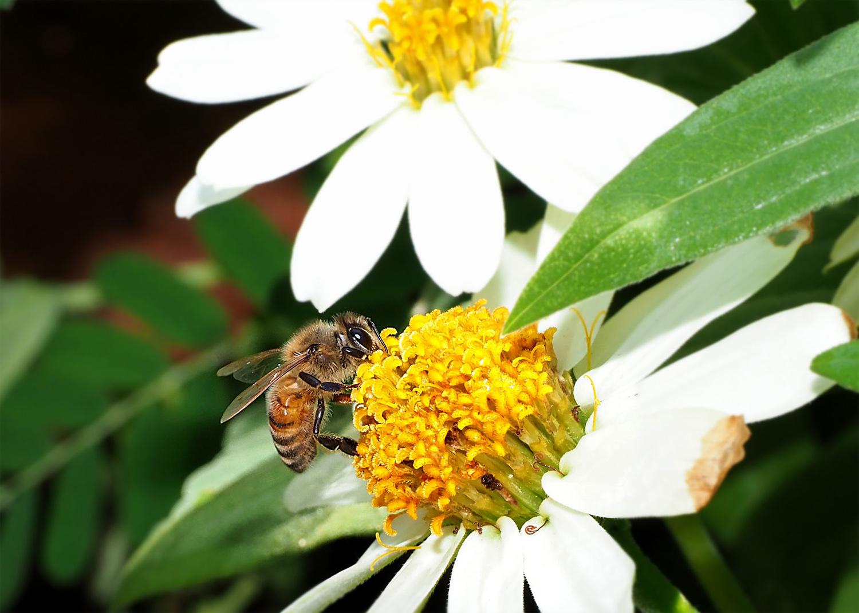ミツバチ_e0254493_1611995.jpg