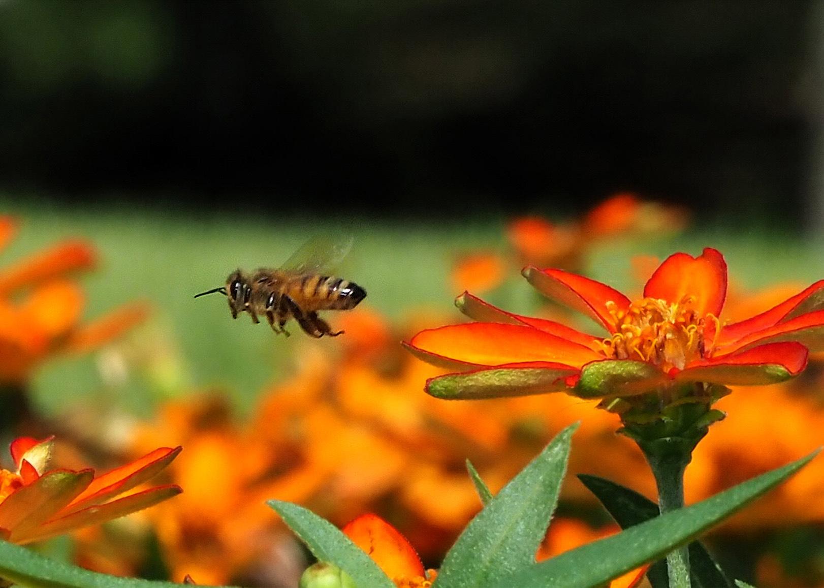 ミツバチ_e0254493_16122174.jpg