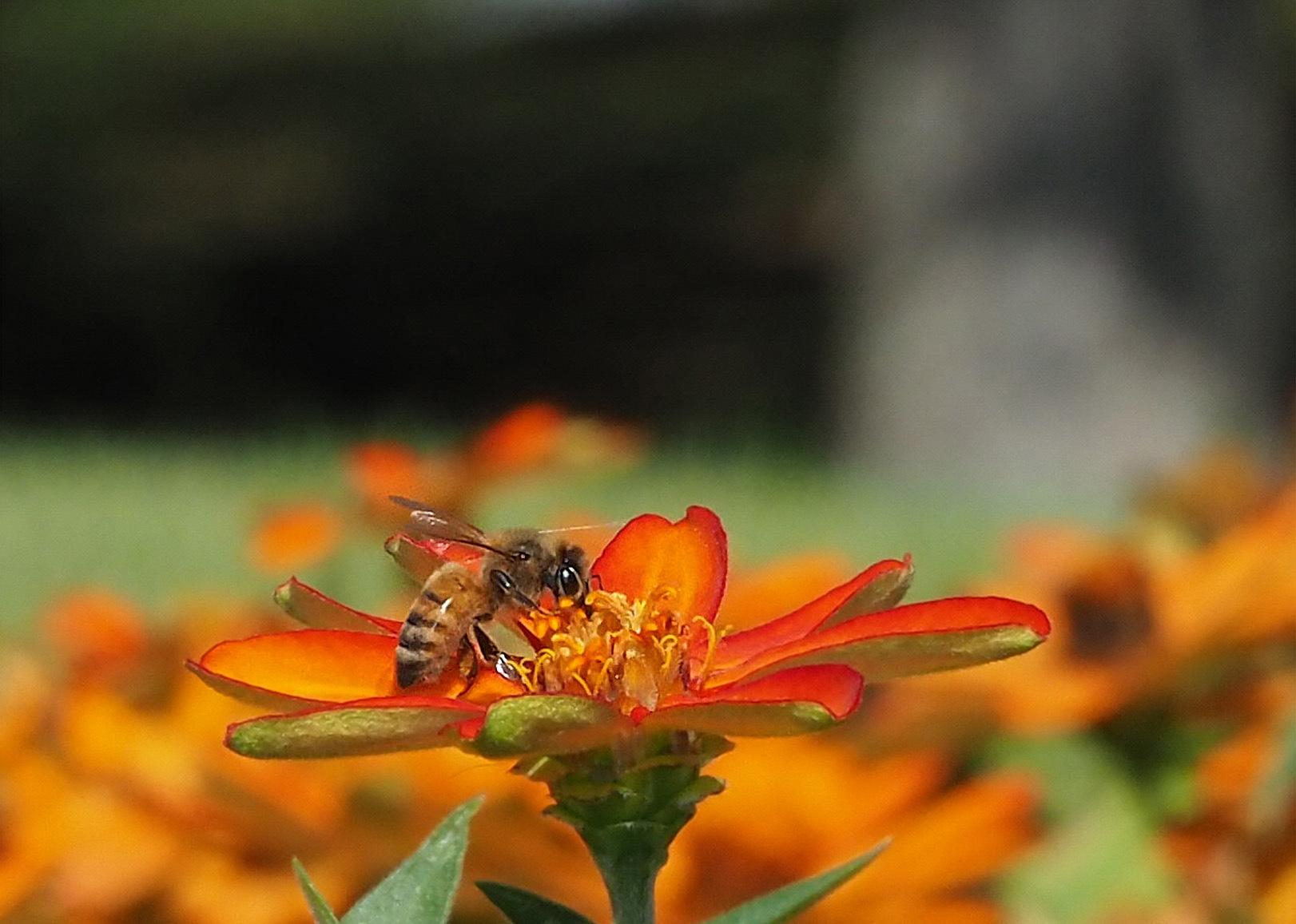 ミツバチ_e0254493_1612788.jpg