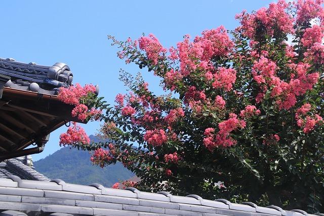 咲き誇る百日紅(撮影:8月22日)_e0321325_10352994.jpg