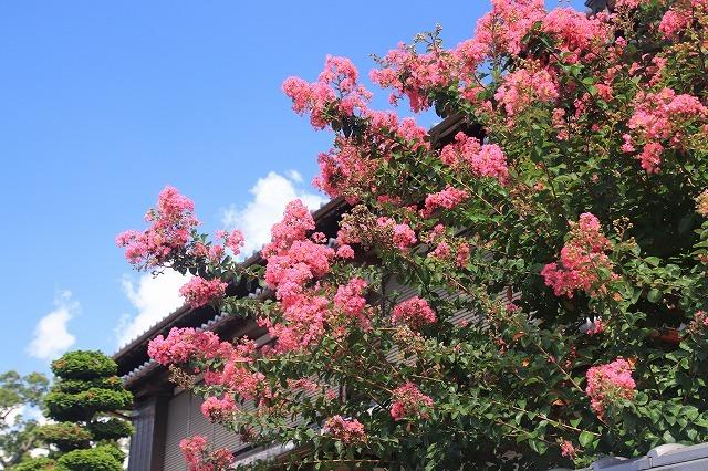 咲き誇る百日紅(撮影:8月22日)_e0321325_10354183.jpg