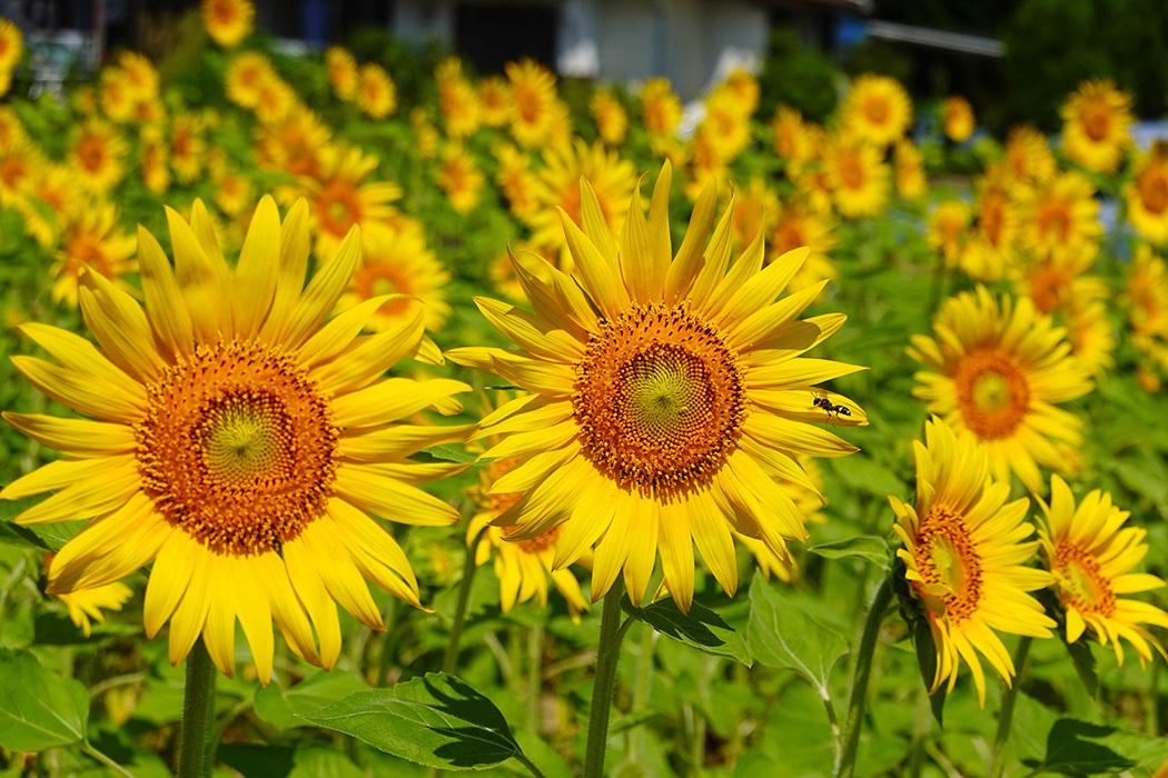 「猛暑の中で咲き誇る向日葵」ー多久市南多久にてー_c0014538_20200762.jpg