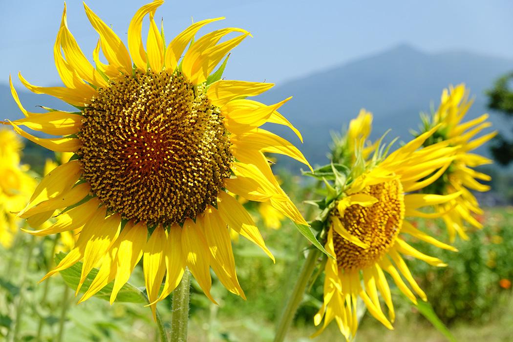 「猛暑の中で咲き誇る向日葵」ー多久市南多久にてー_c0014538_20202108.jpg