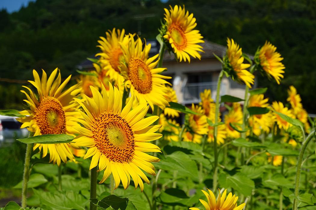 「猛暑の中で咲き誇る向日葵」ー多久市南多久にてー_c0014538_20203241.jpg