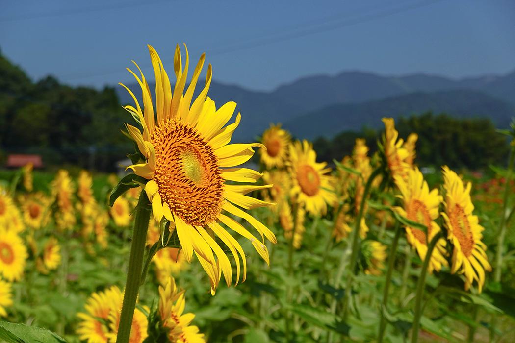 「猛暑の中で咲き誇る向日葵」ー多久市南多久にてー_c0014538_20204645.jpg