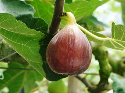 『甘熟いちじく』数量限定、完全予約制好評発売中!いちじくは不老長寿の果実とも呼ばれているフルーツです_a0254656_17481217.jpg