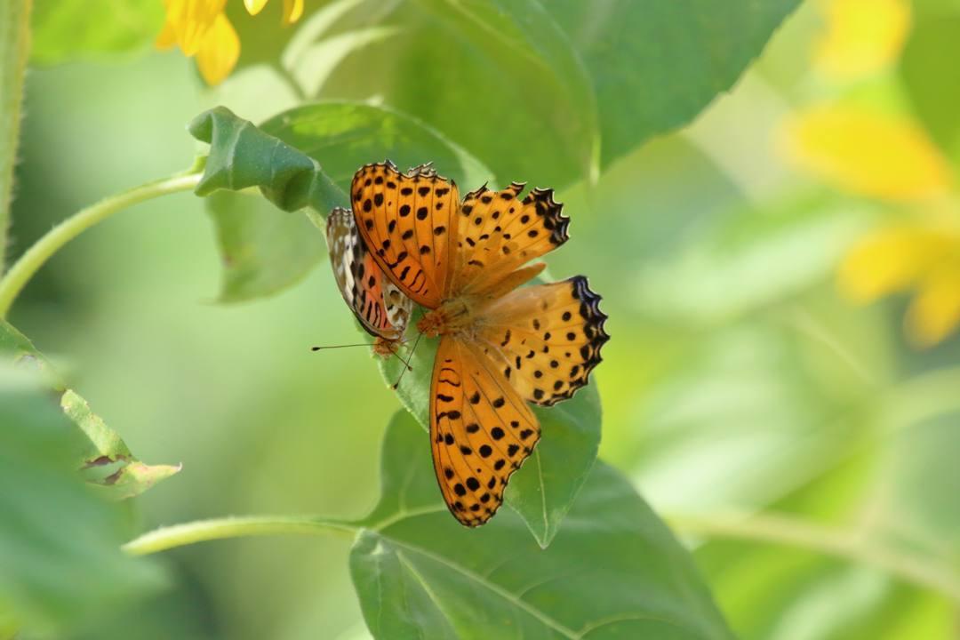 蝶とトンボ_e0403850_22371975.jpg
