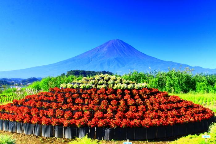 令和2年8月の富士(4) 河口湖の花と富士 _e0344396_16054738.jpg