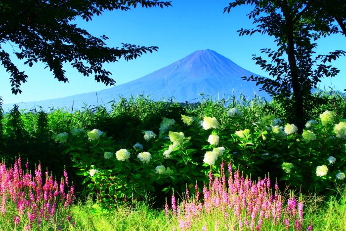 令和2年8月の富士(4) 河口湖の花と富士 _e0344396_16071079.jpg