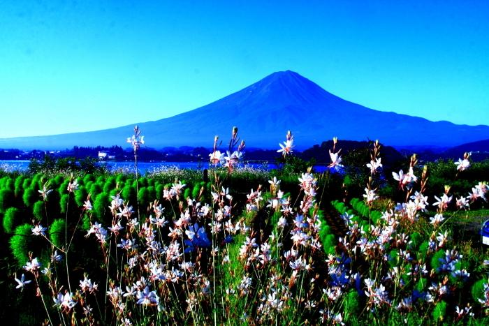 令和2年8月の富士(4) 河口湖の花と富士 _e0344396_16072149.jpg