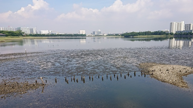 谷津干潟の環境変化・・・アオサは減少、ゴカイ類やシギ・チドリ類は?_c0236527_01004866.jpg