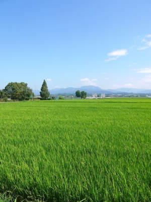 七城米 長尾農園 美しすぎる田んぼ出穂の様子(2020年) _a0254656_18120017.jpg