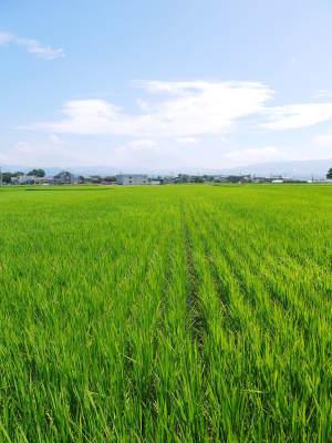 七城米 長尾農園 美しすぎる田んぼ出穂の様子(2020年) _a0254656_18395674.jpg