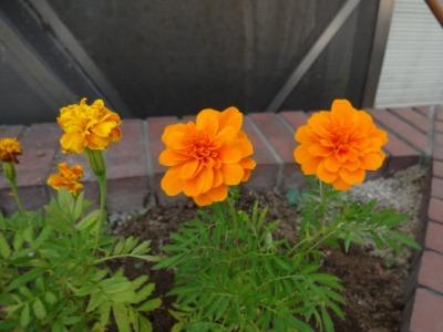 ガーデンふ頭総合案内所前花壇の植替えR2.8.24_d0338682_09120122.jpg