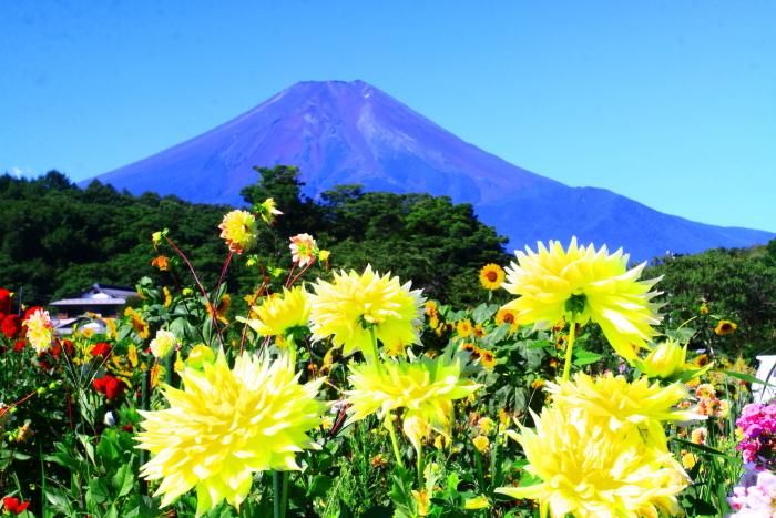 令和2年8月の富士(5) 忍野の花と富士 _e0344396_17064475.jpg