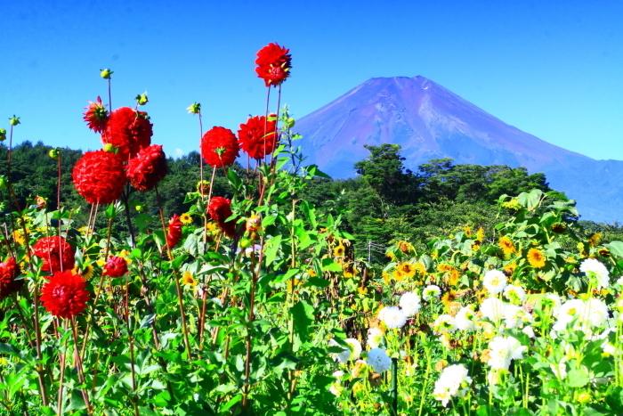 令和2年8月の富士(5) 忍野の花と富士 _e0344396_17065389.jpg