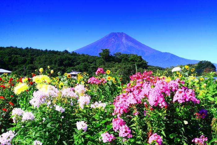 令和2年8月の富士(5) 忍野の花と富士 _e0344396_17070127.jpg