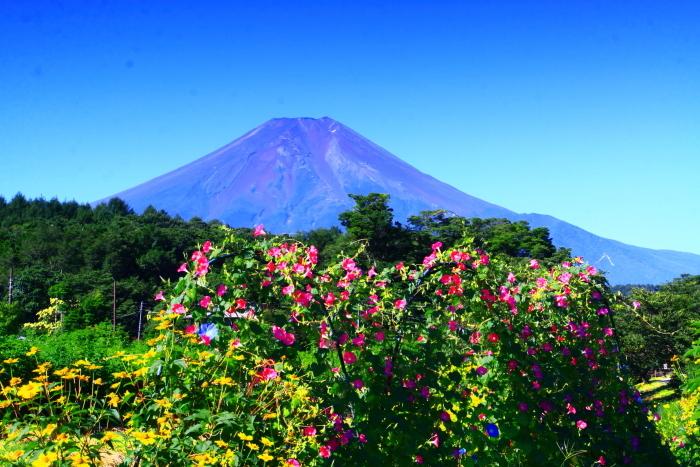 令和2年8月の富士(5) 忍野の花と富士 _e0344396_17070973.jpg