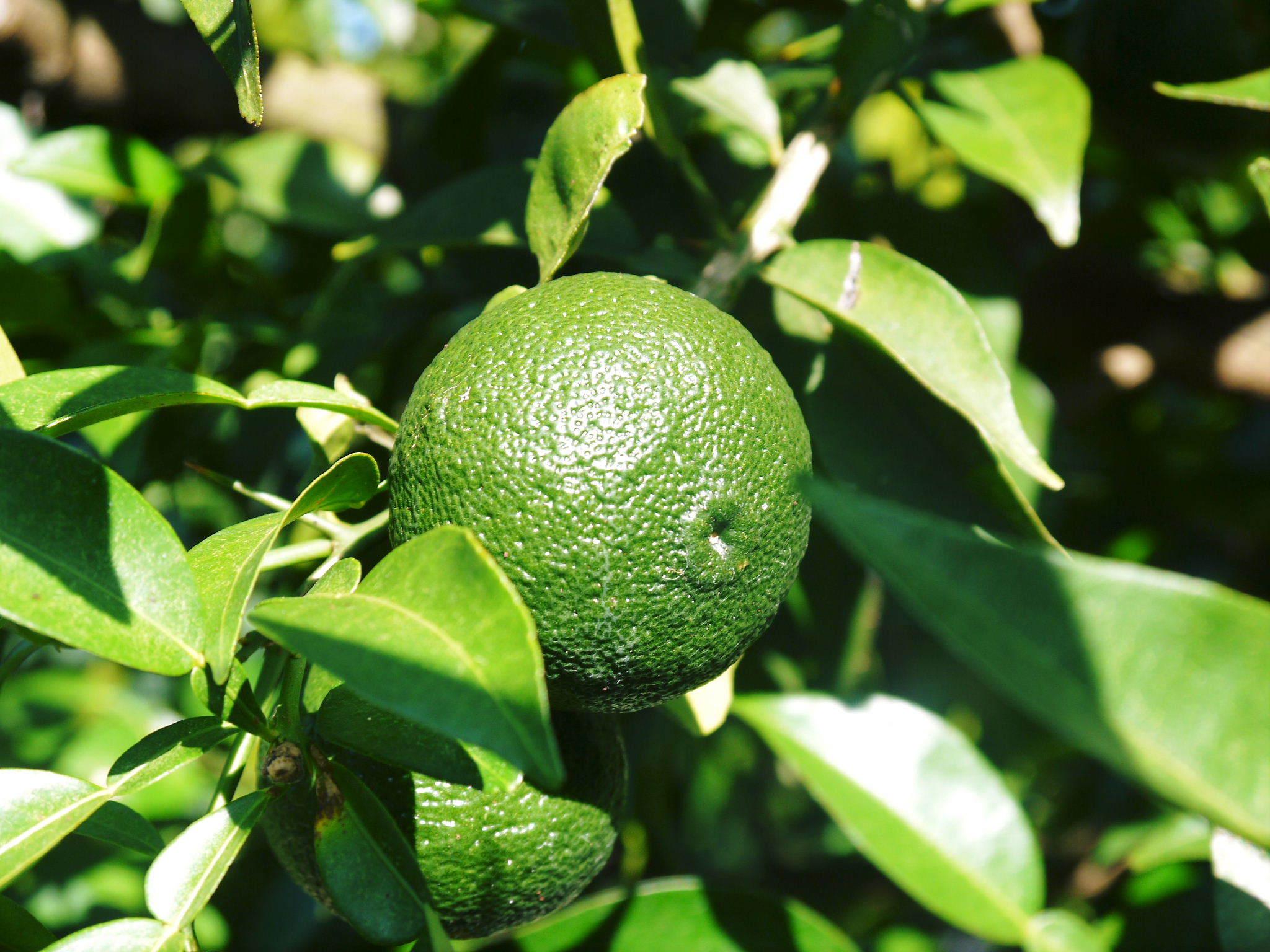 香り高き柚子(ゆず)令和2年の青柚子は9月中旬より出荷予定!今のうち青唐辛子を購入しておいて下さい!_a0254656_18003593.jpg
