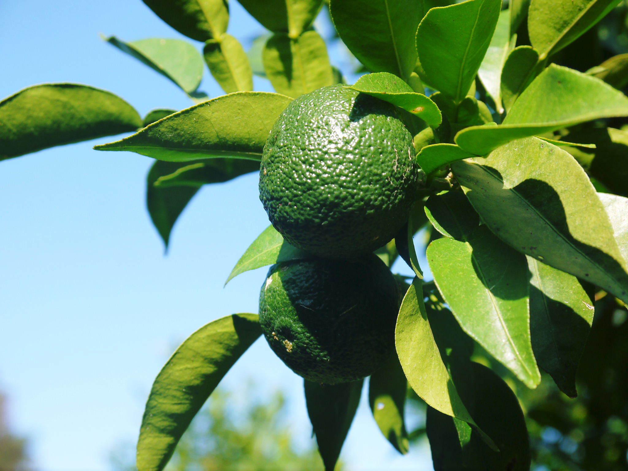 香り高き柚子(ゆず)令和2年の青柚子は9月中旬より出荷予定!今のうち青唐辛子を購入しておいて下さい!_a0254656_18073816.jpg