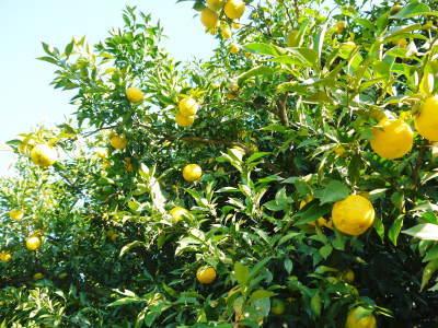 香り高き柚子(ゆず)令和2年の青柚子は9月中旬より出荷予定!今のうち青唐辛子を購入しておいて下さい!_a0254656_18091116.jpg