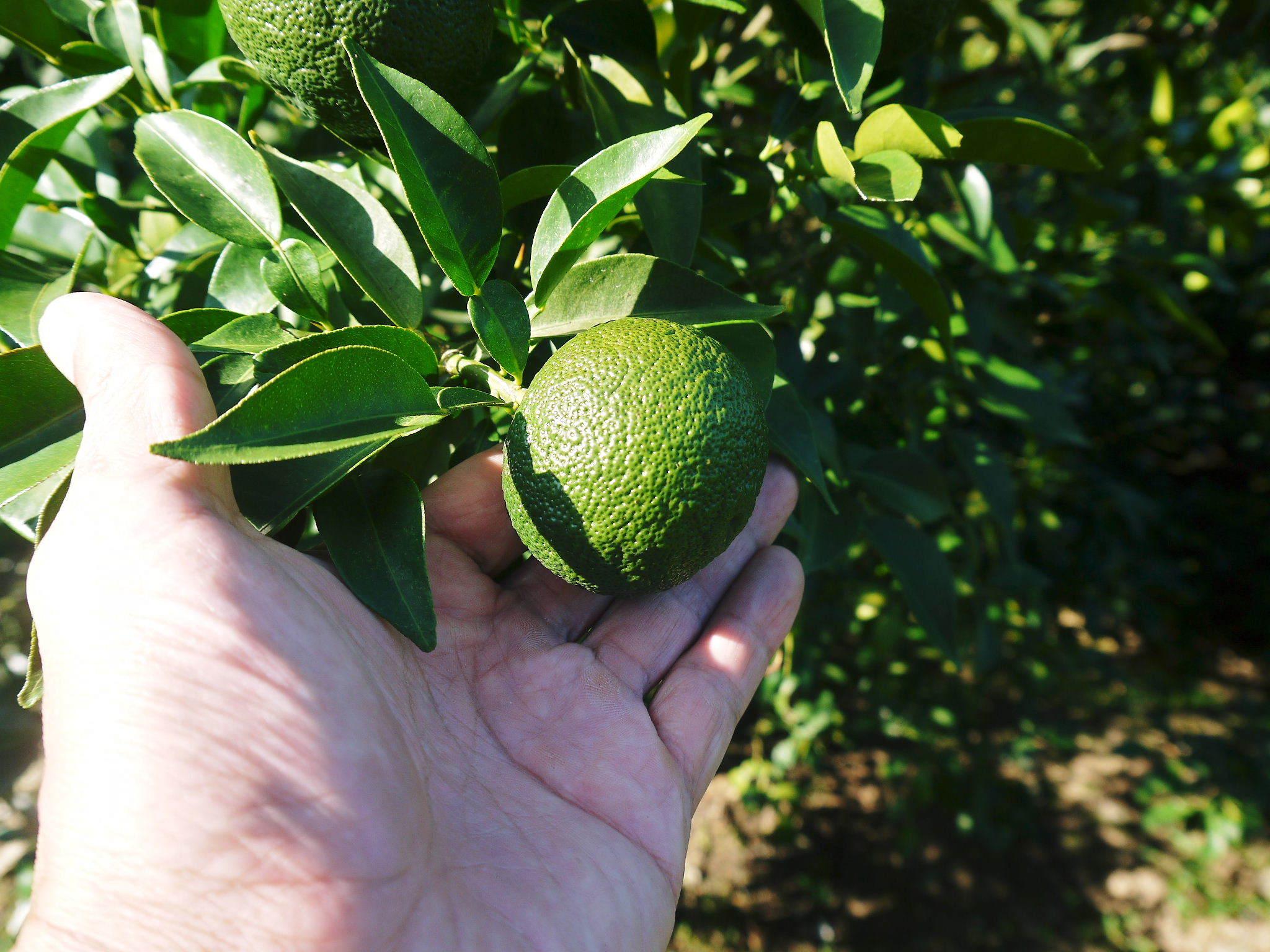 香り高き柚子(ゆず)令和2年の青柚子は9月中旬より出荷予定!今のうち青唐辛子を購入しておいて下さい!_a0254656_18163615.jpg