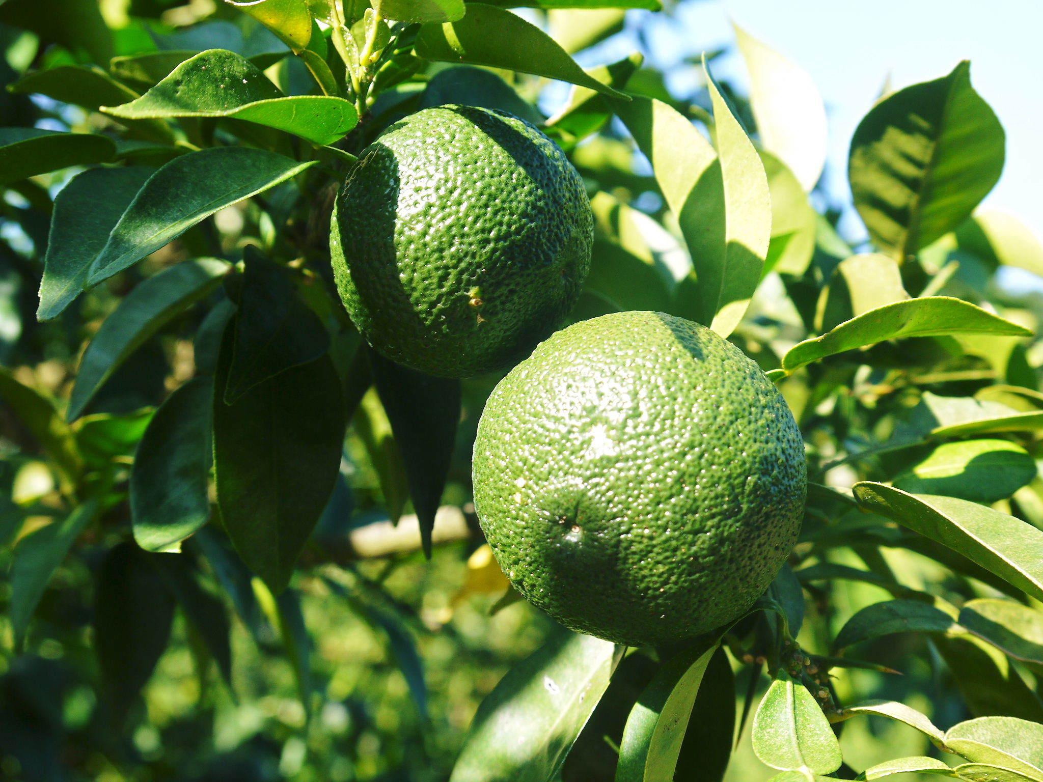 香り高き柚子(ゆず)令和2年の青柚子は9月中旬より出荷予定!今のうち青唐辛子を購入しておいて下さい!_a0254656_18204290.jpg
