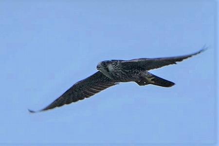 ★クサシギ飛来・・・先週末の鳥類園(2020.8.22~23)_e0046474_10515282.jpg