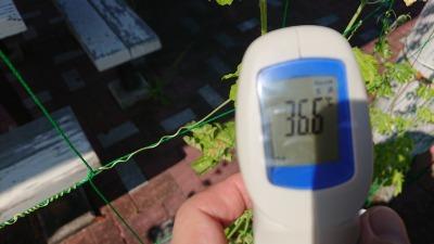 緑のカーテン(ゴーヤ)栽培実験R2.8.26_d0338682_14130811.jpg