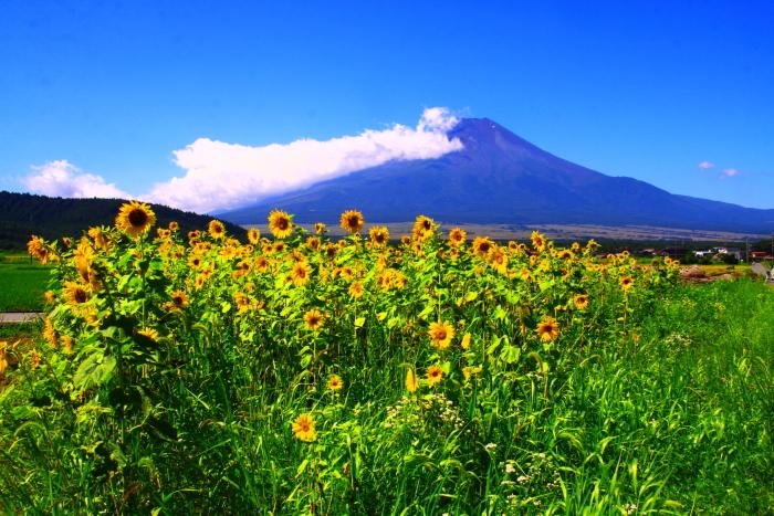令和2年8月の富士(6) 忍野の夏雲の富士 _e0344396_18045006.jpg