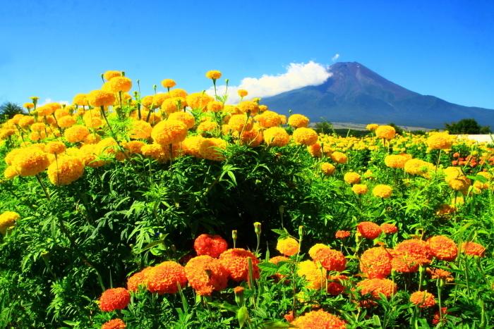 令和2年8月の富士(6) 忍野の夏雲の富士 _e0344396_18053069.jpg