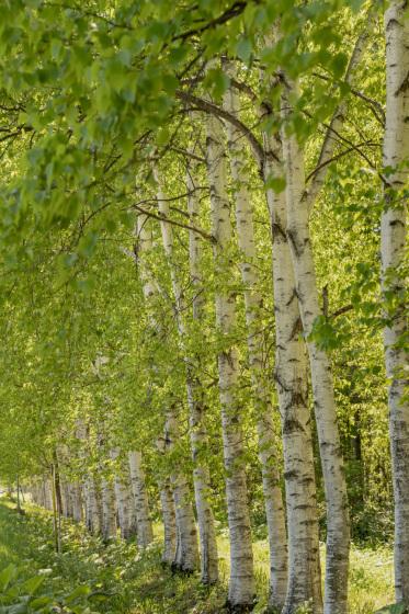 北海道空知郡美瑛町「十勝岳付近の樹木」_a0096313_11501520.jpg